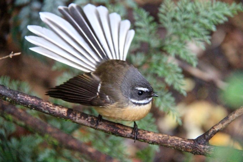 Piwakawaka - the NZ Fantail