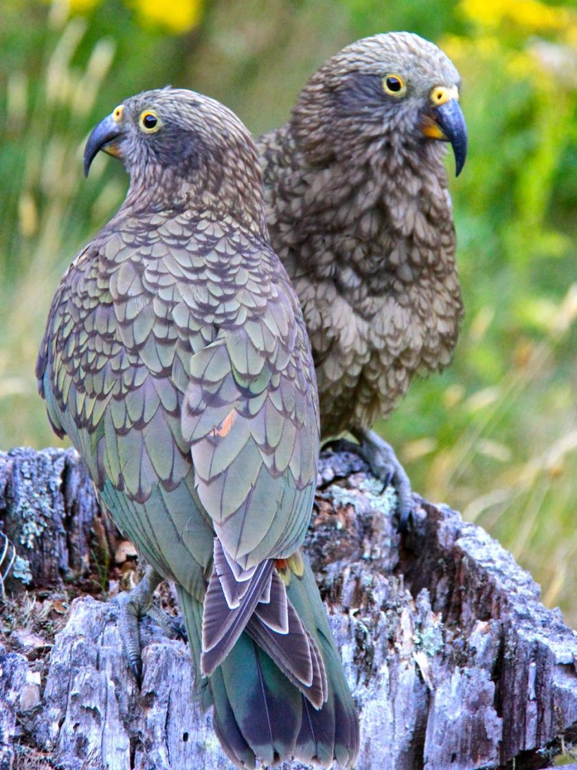A paid of young kea