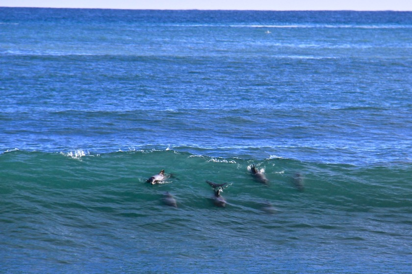 Hectors Dolphins West Coast New Zealand