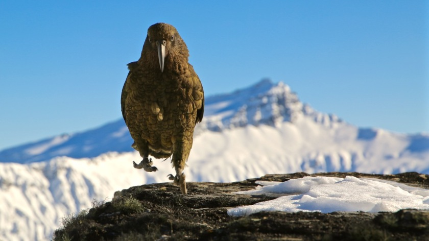 Kea mountain parrot and Black Peak