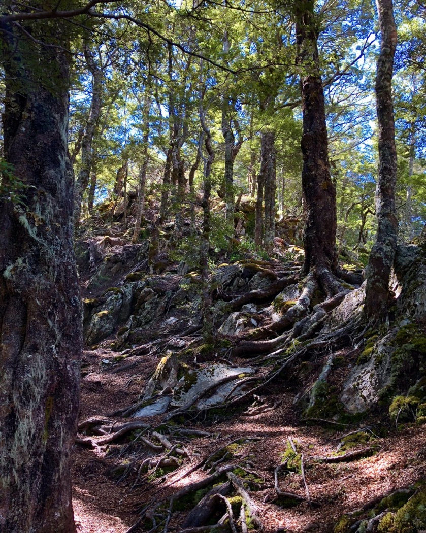 Beech forest, Southern Alps, NZ