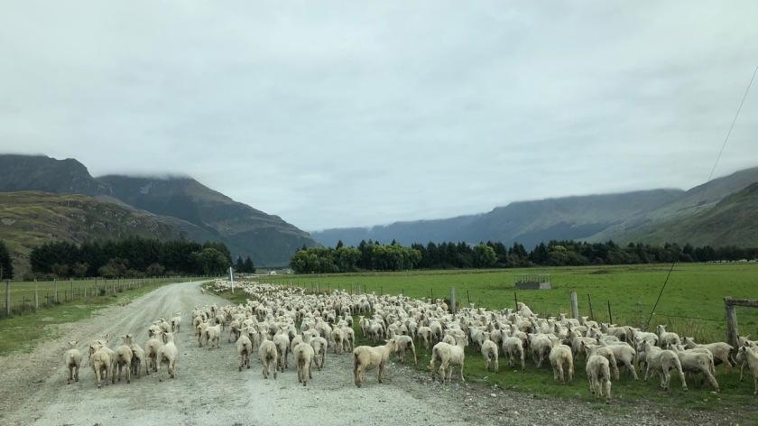 Sheep on the road, Wanaka, Mt Aspiring National Park, New Zealand