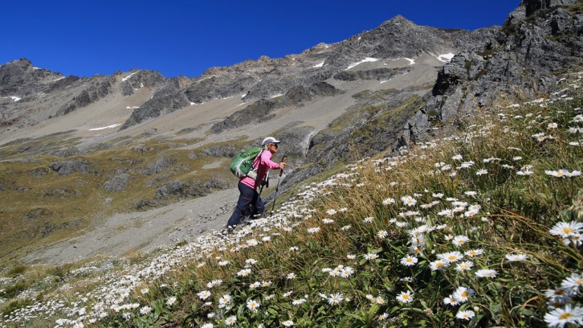 Hiking through alpine meadows of wild flowers in the mountains of the Southern Alps, New Zealand