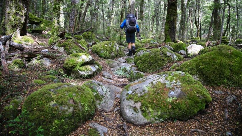 Hiking through native New Zealand beech forest